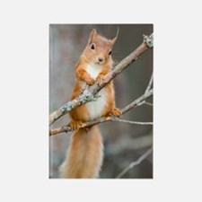 Red squirrel on a branch Rectangle Magnet