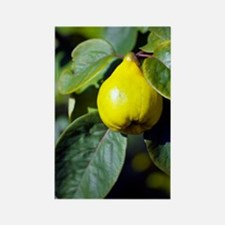 Quince fruit Rectangle Magnet