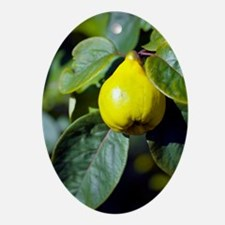 Quince fruit Oval Ornament