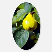 Quince fruit Decal