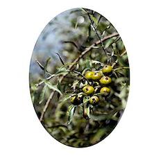Pyrus salicifolia 'Pendula' Oval Ornament