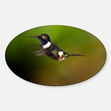 Purple-throated woodstar Sticker (Oval)