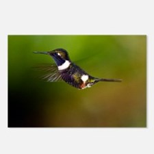 Purple-throated woodstar Postcards (Package of 8)