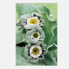 Primula auricula 'Ludlow' Postcards (Package of 8)
