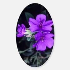 Princess flower (Tibouchina semidec Decal