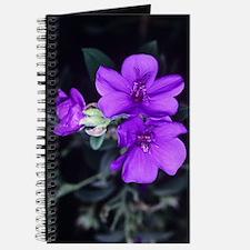Princess flower (Tibouchina semidecandra) Journal