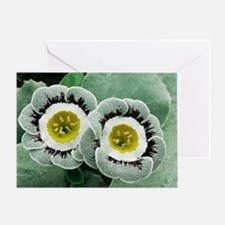 Primula auricula 'Ludlow' Greeting Card
