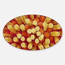 Potentilla flower pistils, SEM Decal
