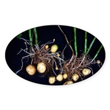 Potato roots Decal
