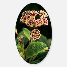 Polyanthus 'Elizabeth Killelay' flo Decal
