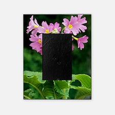 Polyanthus 'David Valentine' flowers Picture Frame
