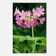 Polyanthus 'David Valenti Postcards (Package of 8)