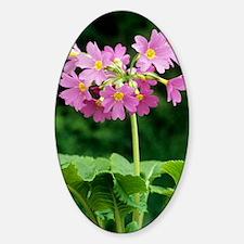 Polyanthus 'David Valentine' flower Decal