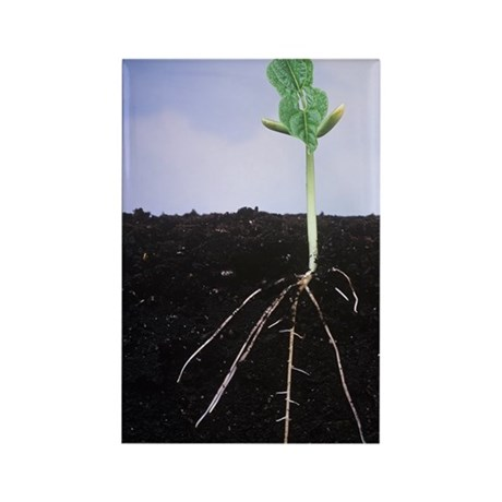 Plant roots Rectangle Magnet
