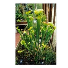 Pitcher plants Postcards (Package of 8)
