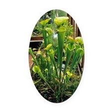 Pitcher plants Oval Car Magnet