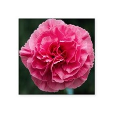 "Pink flower (Dianthus 'Clar Square Sticker 3"" x 3"""