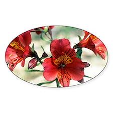 Peruvian lily (Alstroemeria 'Xandra Decal