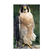 Peregrine Falcon Decal
