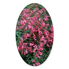 Penstemon 'Schoenholzeri' Decal