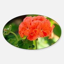 Pelargonium x hortum Decal