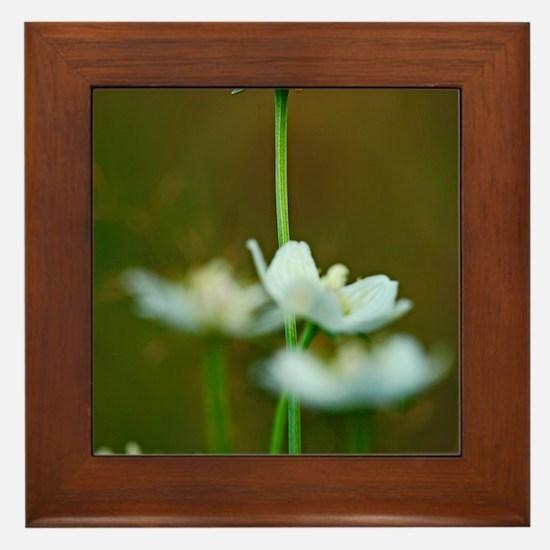 Parnassia palustris flowers Framed Tile