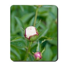 Paeonia lactiflora 'Shirley Temple' Mousepad