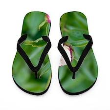 Paeonia lactiflora 'Shirley Temple' Flip Flops