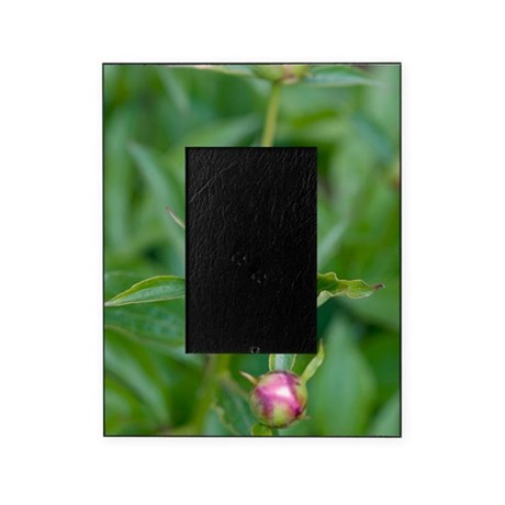 Paeonia lactiflora 'Shirley Temple' Picture Frame