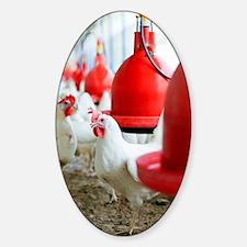 Organic chicken farming Sticker (Oval)