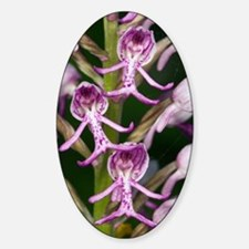 Orchis militaris x Orchis simia Decal