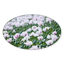 Opium poppies (Papaver somniferum) Decal