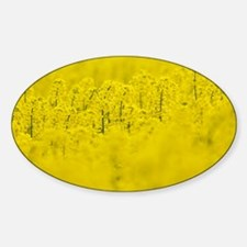 Oilseed Rape (Brassica napus) Decal