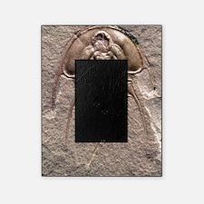 Olenellus gilberti trilobite fossil Picture Frame