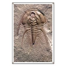 Olenellus gilberti trilobite fossil Banner