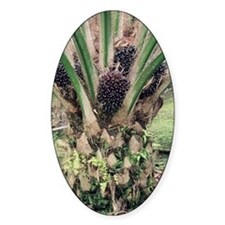 Oil palm tree with fruits Decal