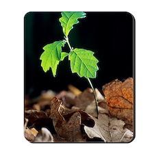Oak tree (Quercus sp.) seedling Mousepad