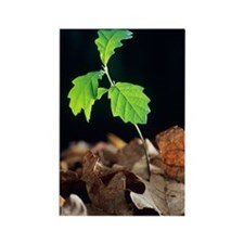 Oak tree (Quercus sp.) seedling Rectangle Magnet