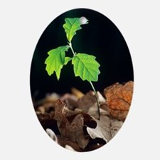 Oak tree (Quercus sp.) seedling Oval Ornament