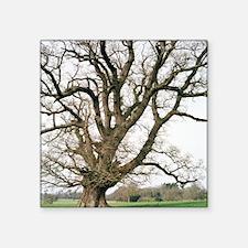 "Oak tree Square Sticker 3"" x 3"""