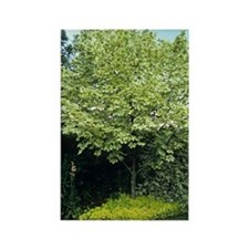 Norway maple (Acer platanoides) Rectangle Magnet