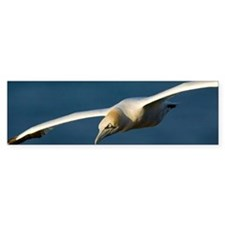 Northern gannet in flight Bumper Sticker