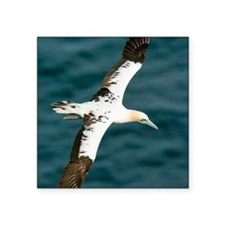 "Northern gannet in flight Square Sticker 3"" x 3"""