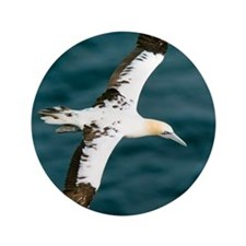 """Northern gannet in flight 3.5"""" Button"""