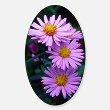 New York aster flowers (Aster sp.) Decal
