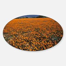 Namaqualand daisies, Dimorphotheca  Decal