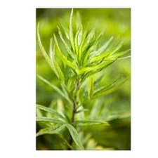 Mugwort (Artemisia vulgar Postcards (Package of 8)