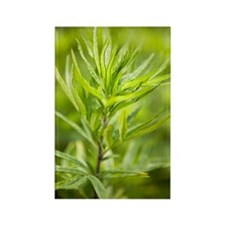 Mugwort (Artemisia vulgaris) Rectangle Magnet