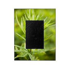 Mugwort (Artemisia vulgaris) Picture Frame