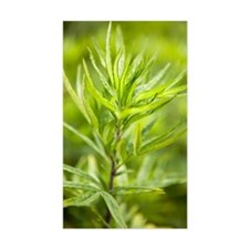 Mugwort (Artemisia vulgaris) Decal